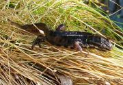 100309_smooth_newt2_JPG-for-web-small