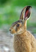 animals---brown-hare-2-large_jpg-for-web-small