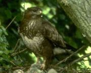 buzzard_jpg-for-web-small