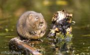 european_water_vole_1_jpg-for-web-small